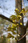 Весна. Клён