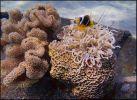 В воде. Рыба-клоун и актиния